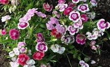 Flower Seed:Wee Willie Sweet Williams 40 Seeds Fresh Seed