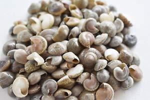 (KARPP 1/4 Lb (400) Tiny Black Umbonium Mini Shells (1/4