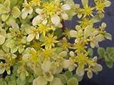 "Sedum Reflexum Blue Spruce Established Perennial 4"" potted Perennial - 3 plants"
