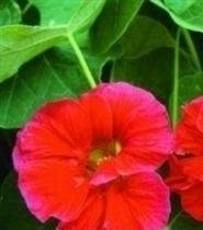 Nasturtium Cherry Rose - 9
