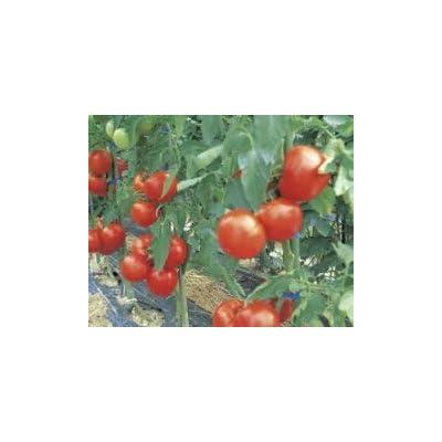 Tomato, Grandeur Certified Organic Live Plant : Garden & Outdoor