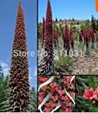Flower seeds Roter Teide Natternkopf - Echium wildpretii - 20 Samen-seeds - Tower of Jewels Home & Garden