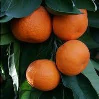 3-4 Year Old (3-3.5 Ft) Owari Satsuma Orange Tree