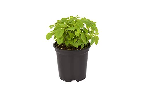 The Three Company Stress Relieving Live Aromatic 4'' Herb Combo (Lemon Balm, Rosemary, Chamomile) 1 Pint Pot Aids in Relaxation (Thrее Рack) by The Three Company (Image #2)