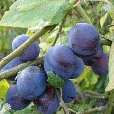 (3 Gallon) BLUE DAMSON PLUM Trees, Very Old Variety, Hardy, Vigorous and Dependable. Blue Ribbon Winner, Small, Round, Blue-Black Plums. Grafted. ()
