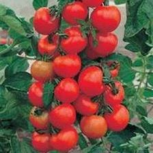 Enchufe de 3 x Alicante Tomate Plantas – Crecer Su Propio tomates – disponible ahora