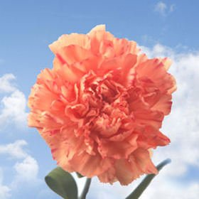 GlobalRose 300 Fresh Cut Orange Carnations - Fresh Flowers Wholesale Express Delivery by GlobalRose (Image #2)