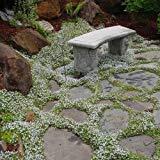 Snow in Summer Flower Seeds (Cerastium Tomentosum) 200+Seeds (400+)
