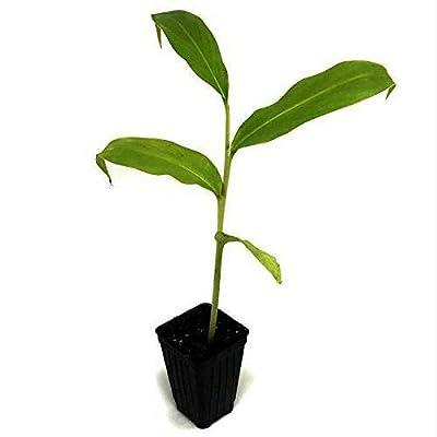 AchmadAnam - Live Plant - Hedychium Anne S Bishop Ginger Lily 3-Inch Deep Pot Garden : Garden & Outdoor