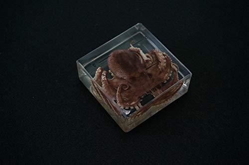 QIANLAI Real Octopus Specimens in Clear Lucite Block Educational Instrument