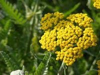 GOLD YARROW 500 SEEDS - Yarrow Gold
