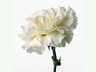 "CARNATIONS-White Snow ""Dianthus caryophyllus"" 20+Perennial seeds"