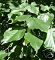 Tilia cordata LITTLELEAF LINDEN TREE Seeds!