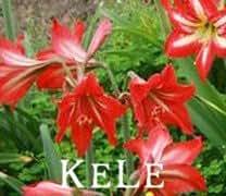 Nueva llegada 2015 !! 50 semillas 24 colores Nueva Lily plantas bonsai de interior semillas de perfume de lirio semillas de flores de lirio para el jardín de
