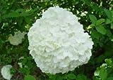 Chinese Snowball Bush - White Flowering-shrub - Tree - Landscapes/Gardens 2 Pack