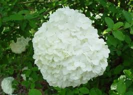 Amazon Chinese Snowball Bush White Flowering Shrub Tree