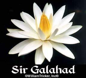 Sir Galahad Tropical Water Lily (Annual)