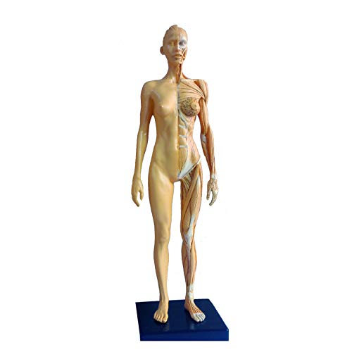 1/6 Scale PU Elastic Human Female Anatomy Model 11 inches Muscular System Figure Formaldehyde Embalmed Color