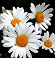 The Dirty Gardener Chrysanthemum Leucanthemum Ox-Eye Daisy Wildflowers