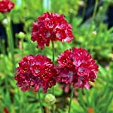 Ballerina Red Thrift Perennial - Armeria - Quart Pot