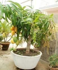 zumari 90 piezas Mini semillas de fruta de mango