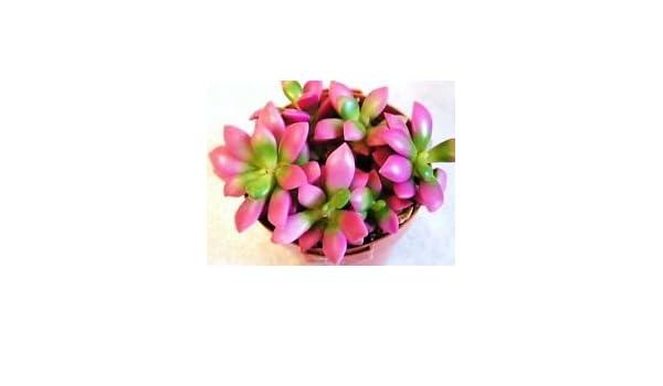 Seeds-Organic Camellia-12 /& 6 Large Deep Pink-Evergreen Shrub-Portuguese-Rare