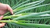 buy David's Garden Seeds Bunching Onion Parade SL4111PV (Green) 500 Organic Seeds now, new 2020-2019 bestseller, review and Photo, best price $8.95