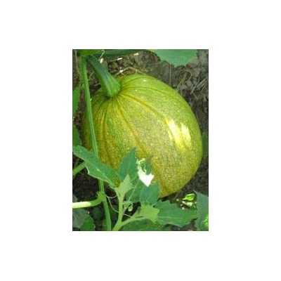 Todd's Seeds Tatume Summer Squash Heirloom Seed : Vegetable Plants : Garden & Outdoor
