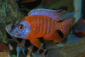 Amazon Com Live Freshwater Aquarium Fish 3 5 4 Red Flush