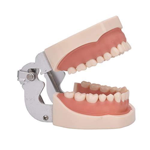 AnhuaDental Typodont modelo de dientes, totalmente ...