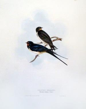 - Chimney Swallow, Hirundo rustica (Linn)