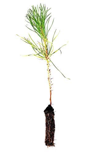 Tree Austrian Pine (Austrian Pine Tree Pinus Nigra 7