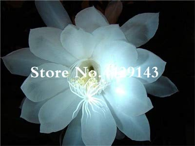 AGROBITS 100 Pca Epiphyllum Bonsai, Interior Bonsai Hermosa Floraciã³n Cactus Floraciã³n Crecimiento Natural para Home...