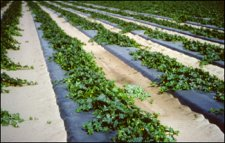 Photo Degradable Black Plastic Mulch - 0.6 Mil Embossed - 4 ft X 6000 ft By Grower's Solution