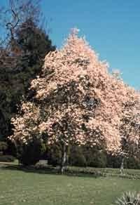Amazon Com Magnolia Denudata Oriental Yulan Magnolia Seeds