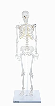 LABZIO by EISCO - Human Skeleton Model, Anatomically Correct with Movable  Joints, 3 Part Skull with Removable Calvarium and Articulating Jaw, On  Base,