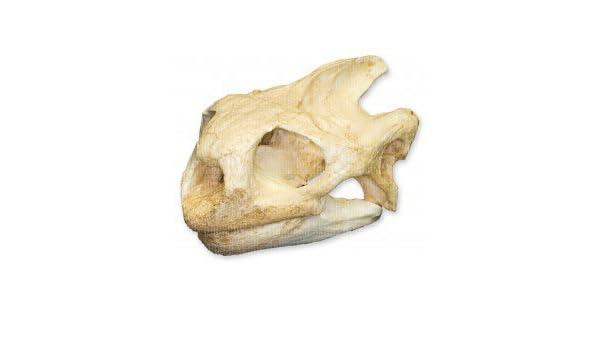 Serval Skull Teaching Quality Replica
