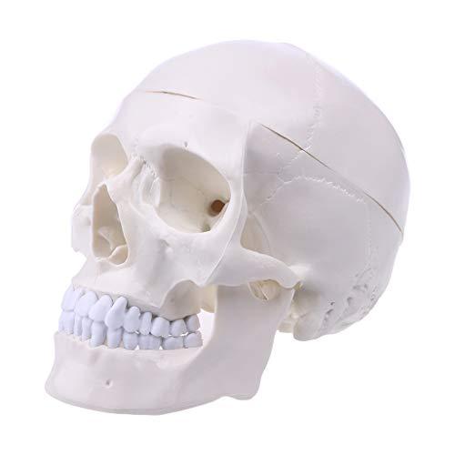 [해외]Jiulonerst-학교 교육에 대 한 인간의 해부학 해부학 머리 해골 두개골 모델 / Jiulonerst-Human Anatomical Anatomy Head Skeleton Skull Model for School Teaching