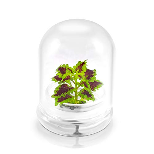 (Rainbow Floral Terrarium - Self Grow, Maintenance Free -Coleus - 4