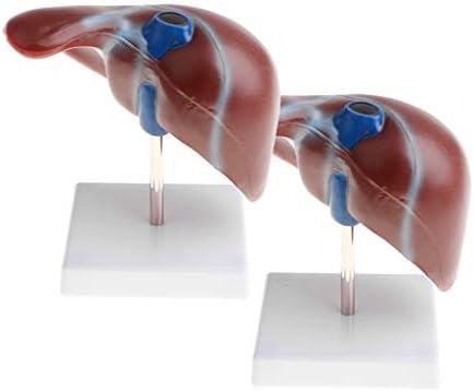 SM SunniMix 2 Piezas 1: 1 Anatómico Hígado Humano Lóbulo Vesícula ...