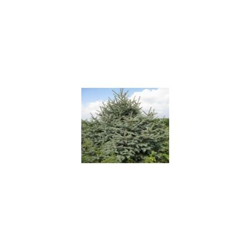 50 Meyer Spruce Tree Seeds, Picea Meyeri