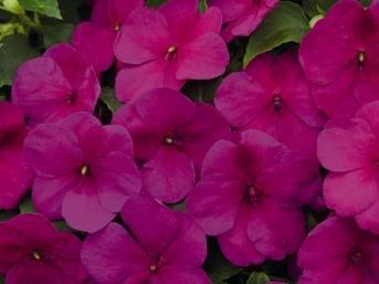 Hazzard's Seeds Impatiens Lollipop Raspberry Violet 1,000 seeds