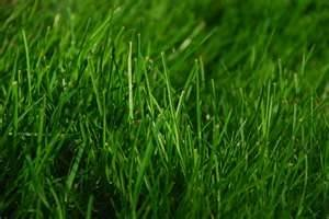 Premium Turf Kentucky Blue Grass Seed Blend - 1 pound - Wizard Seed LLC