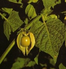 Poha Berry Cape Gooseberry Seeds