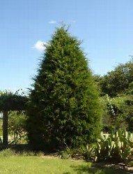 15 Seeds Eastern Red Cedar Tree (Juniperus virginiana) Hedge Tree