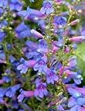 50+ Blue Spring Penstemon Heterophyllus/Perennial Flower Seeds