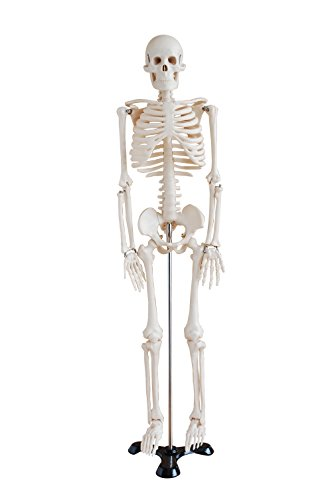 Mini Human Skeleton Model 1/2 Life Size on Metal Base 85cm (Human Skeleton Model compare prices)