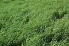 Teff Grass Seed (Annual Warm Season, Great Horse Hay) - 5 Pound - Wizard Seed LLC (Best Horse Hay Seed)
