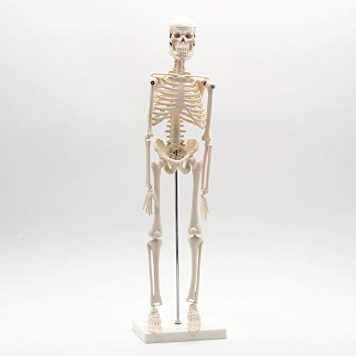 Cranstein A-122 Kleines Mini Skelett-Modell mit 45cm