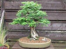 100 Dawn Redwood Tree Seeds Metasequoia Glyptostroboides Bonsai USA - BKSeeds